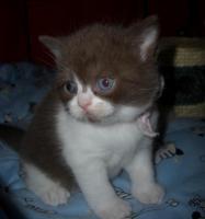 Foto 4 Ein kugelrundes BKH - Kätzchen sucht noch ein neues Zuhause