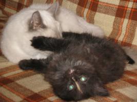Foto 3 Eine schöne Ragdoll Mix Kätzchen