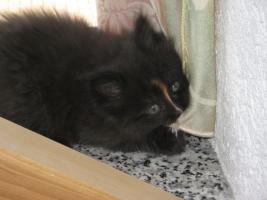 Foto 4 Eine schöne Ragdoll Mix Kätzchen