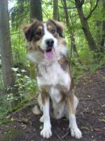 Foto 4 Einen Bordercolli-mischlings Hund