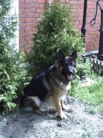 Einen altdeutschen Schäferhund