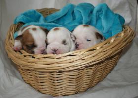 Foto 3 Englisch Bulldog