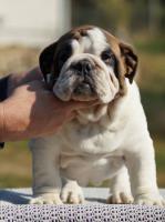 Foto 3 Englische Bulldoge Welpen mit Papiere