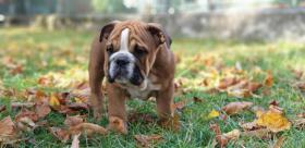 Foto 5 Englische Bulldogge