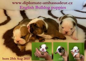Foto 2 Englische Bulldogge Welpen mit Papiere zu vergeben