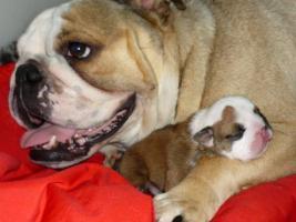 Foto 3 Englische Bulldogge Welpen mit Papiere zu vergeben