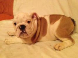 Foto 6 Englische Bulldoggen Welpen