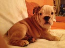 Foto 8 Englische Bulldoggen Welpen