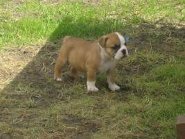 Foto 3 Englische Bulldoggen Welpen