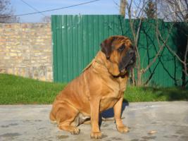 Englischer Mastiff Welpen zu verkaufen
