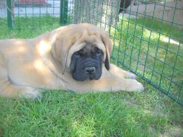 Foto 2 Englischer Mastiff Welpen zu verkaufen