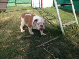 English Bulldog Welpen gesund und freiatmend !