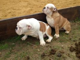 Foto 2 English Bulldog Welpen gesund und freiatmend !