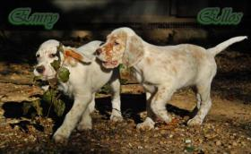 Foto 4 English Setter Welpen