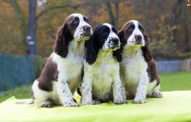 English Springer Spaniel mit Papiere