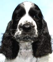 English Springer Spaniel Welpen mi Stammbaum