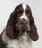 English Springer Spaniel - Welpen mit Papiere