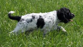 Foto 4 English Springer Spaniel - Welpen mit Papiere