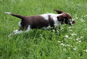 Foto 5 English Springer Spaniel - Welpen mit Papiere