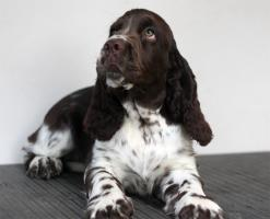 Foto 6 English Springer Spaniel - Welpen mit Papiere