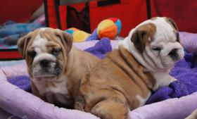English bulldog, Englische Bulldogge, bulldogge
