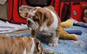 Foto 2 English bulldog, Englische Bulldogge, bulldogge