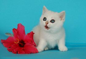 Foto 3 Entzückende Eisbärchen! Britisch Kurzhaar Babys silver-shaded
