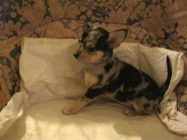 Foto 2 Entzückende, reinrassige kurzhaar Chihuahua Hündin