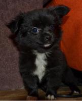 Foto 2 Entzückende, reinrassige langhaar Chihuahua Hündin