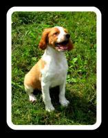 Epagneul Breton (Bretonischer Vorstehhund)