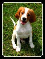 Foto 3 Epagneul Breton (Bretonischer Vorstehhund)