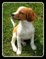 Foto 4 Epagneul Breton (Bretonischer Vorstehhund)