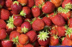Erdbeeren 100% Natur vom Deutschen Bauernhof Mauel