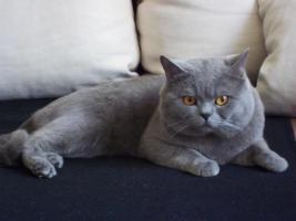 Erfahrener BKH-Deckkater sucht Katzendamen
