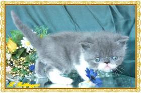 Foto 2 Exotic Shorthair kitten