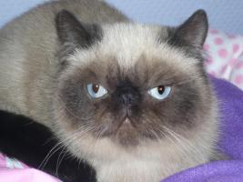 Exotic Shorthair, Colourpoint