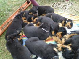 Familienliebende Rottweiler Welpen