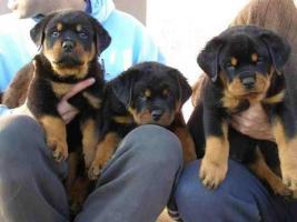Foto 2 Familienliebende Rottweiler Welpen