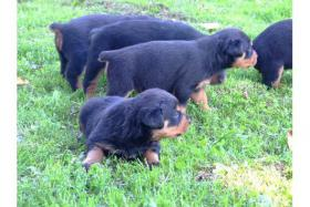 Foto 3 Familienliebende Rottweiler Welpen