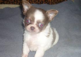 Fantastisch Chihuahua Welpen