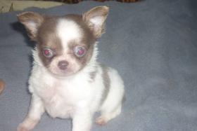 Foto 2 Fantastisch Chihuahua Welpen