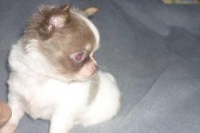 Foto 3 Fantastisch Chihuahua Welpen
