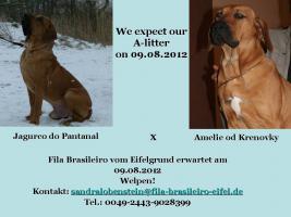 Fila Brasileiro vom Eifelgrund erwartet im August 2012 Welpen!