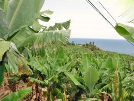 inmitten einer Bananenplantage