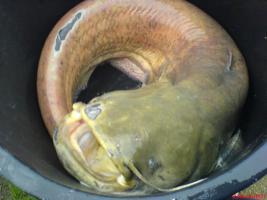 Fische-Karpfen-Forellen-Zander