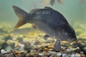 Foto 2 Fische-Karpfen-Forellen-Zander
