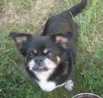Fitte Chihuahua-Omi Picur sucht Lebensplatz!