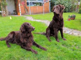 Foto 3 Flatcoated Retriever Welpen in schwarz + braun