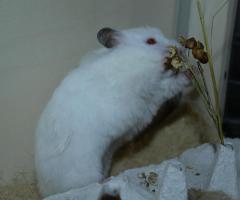 Foto 5 Flöckchen-eine Teddyhamsterdame sucht ein Zuhause
