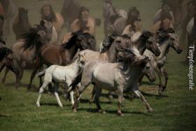 Fotoworkshop ''Wildpferdefang in Dülmen''